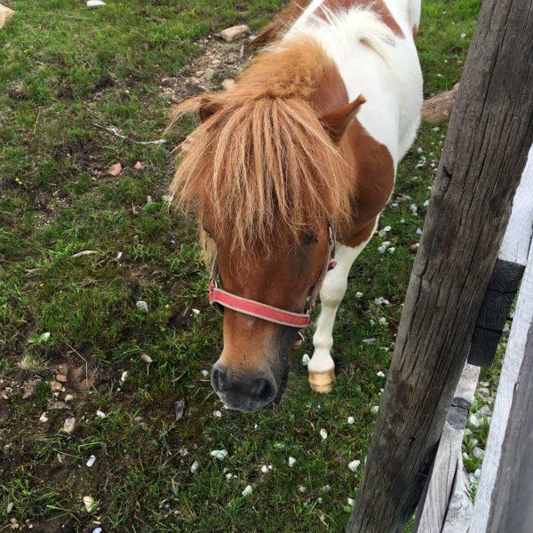Pony Villanderer Alm Streichelzoo Familienausflug Eisacktal Kinder