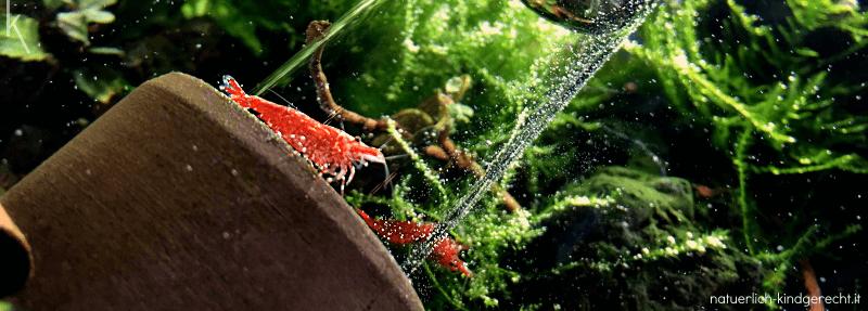 Garnelen Fische Krebse im Kinderaquarium