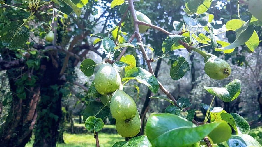 Birnbaum in Omas Garten